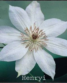 "Clematis Henryi. june-sept. 14'. blooms new/old wood, prune grp B, 9"" flower"