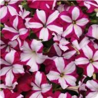 Easy Wave™ Burgundy Star Spreading Petunia