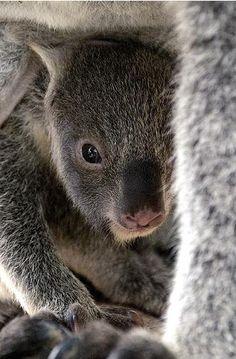 Baby koala joey