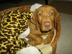 was it your toy?Can I sleep with it? vizsla LOVE Lilu <3