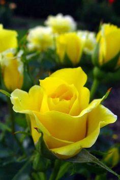 MY FAVORITE ROSES ~~~♥~~~~