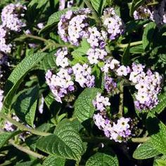 Heliotropium arborescens at San Marcos Growers Dark Flowers, Colorful Flowers, Small Plants, Types Of Plants, Dwarf Shrubs, Household Plants, California Garden, Plant Images, Lilac Color
