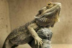 Bearded Dragon - Pogona Vitticeps - Steven Miric/Vetta/Getty Images