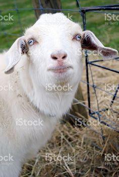 A rare breed of Goat of New Zealand origin. The Kiko Goat originated. Kiko Goats, Livestock, Image Now, New Zealand, Royalty Free Stock Photos, Agriculture, Portraits, Animals, Animales