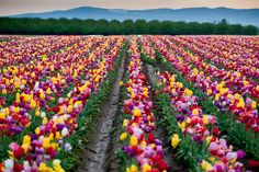 The Wooden Shoe Tulip Farm, Canby, OR   <   One of 20 stunning farms on the Canby Farm Loop   /   OiYS