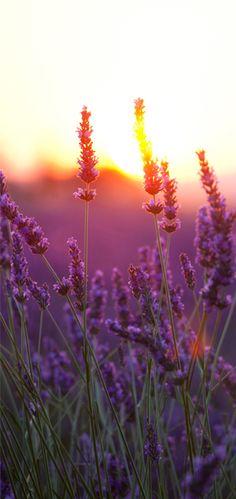 lavander and sunset