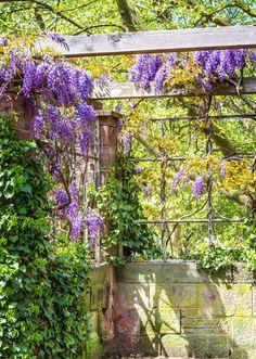 Bruk vegger, hjørner eller sett opp espaljer der du kan plante dekorative klatreplanter. Som denne vakre blåregnen for eksempel. Foto: Colourbox