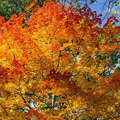 The October Glory Maple (Acer Rubrum) is ais a medium-sized, deciduous tree. Zones 4 - 9