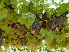 Swan Hill Wine Region Online Wine Shop, Wine Varietals, Different Wines, Growing Grapes, Cabernet Sauvignon, Wine Making, Red Wine, Wineries, Swan