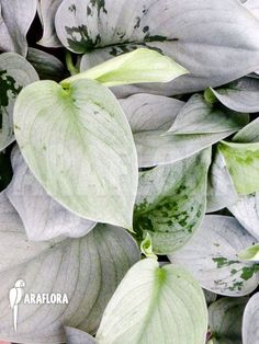 Shimmering Shivereana 💚 I had a Ruby last year. Rare Plants, Exotic Plants, Tropical Plants, Room With Plants, House Plants Decor, Trees To Plant, Plant Leaves, Silver Plant, Pothos Plant