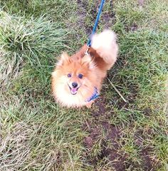 Goofy Dog, Pomeranian, Basil, Husky, Corgi, Amp, Instagram Posts, Animals, Corgis