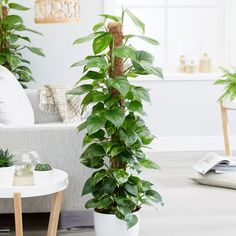 Baby organization Devil's Ivy tall indoor plant in a living room interior # Tall Indoor Plants, Ivy Plants, Plant Supports, Peace Lily, Perfect Plants, How To Grow Taller, Coir, Garden Supplies, Living Room Interior