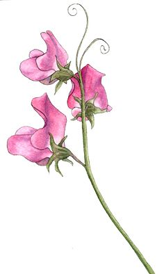 sweet pea flowers for April birthdays! Easy Watercolor, Watercolor Cards, Watercolor Flowers, Watercolor Paintings, Watercolour, Watercolor Portraits, Watercolor Landscape, Abstract Paintings, Watercolor Tattoo