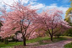 Cherry Blossoms walkway in the Seattle Arboretum