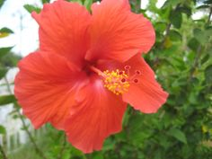 Today we're going to be talking about Hibiscus; in particular about Tropical Hibiscus or Hibiscus rosa-sinensis. We will discuss some important care tips and some Do's and Don't's to induce enormous flowering. How to Grow Hibiscus: Light: Hibiscus plants prefer full sun with very little shade. The more direct light... Growing Hibiscus, Hibiscus Plant, Hibiscus Rosa Sinensis, Growing Veggies, Tropical, Sun, Tips, Plants, Plant