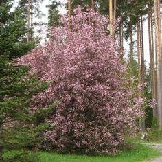 Prunus padus 'Colorata', purppuratuomi