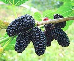 Dwarf Everbearing Mulberry Plant - Morus nigra - Sweet Fruit - Pot >>> Learn more by visiting the image link. Mulberry Fruit, Mulberry Bush, Mulberry Tree, Raspberry Plants, Blackberry Plants, Growing Raspberries, Black Raspberries, Blackberries, Herbs