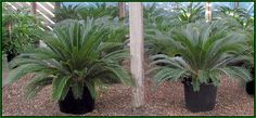 Big Sago palms in 20 pot and 17 pot - grown from large pups.