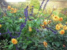 A Year At Great Dixter - Salvia 'Indigo Spires' and Dahlia 'David Howard'