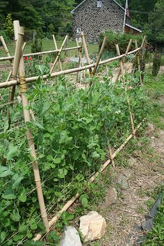 Peas climbing bamboo. Peas fix nitrogen in the soil. Plant next to corn. Companions for peas: bush beans, pole beans, carrots, celery, chicory, corn, cucumber, eggplant, parsley, early spuds, radish, spinach, strawberry, sweet pepper, tomatoes & turnips. Do not plant peas with chives, gladiolus, grapes, late spuds or onions.