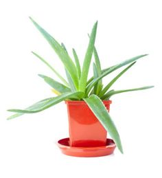 1000 images about plants and gardens on pinterest gardening how to grow and plants - Aloe vera plant care tips beginners guide ...