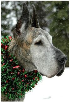 Christmas cutie!!!  this is the face of my Cowboy ROO!!  A Great Dane, Weimaraner mix!!  Those floppy jaws.  HEART!!!