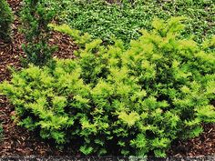 On Pinterest Taxus Baccata Thuja Occidentalis And Blue Spruce