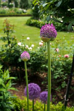 allium...Rose garden of Kanbee Fujisawa