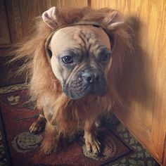 Nacho, the French Bulldog is a Lion for Halloween, but he's not sure he likes it ; (