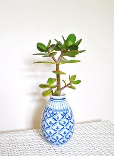 In door jade plant lucky chinese money tree in blue and white pot