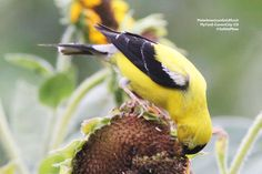 SeEtta plants sunflowers for her American Goldfinches to enjoy. Click through to see more pictures on our blog!