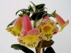 kohleria-viktoria-de-la-flori-si-plante.jpg (800×600)