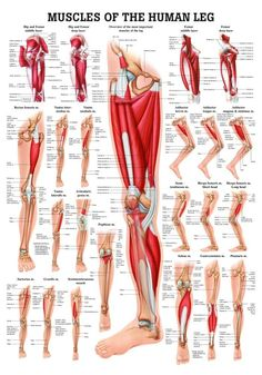 Muscles of the Leg Laminated Anatomy Chart by Anatomical Worldwide: The Muscles of the Leg Anatomy Chart is a beautiful and newly available highly educational chart from Anatomical Worldwide. Leg Muscles Anatomy, Leg Anatomy, Muscle Anatomy, Thigh Muscles, Quad Anatomy, Lower Limb Muscles, Human Leg, Human Body, Muscular System