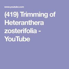 How to trim Heteranthera zosterfolia. Hetaranthera zosterfolia is an easy category stem aquatic plant from Tropica Aquarium Plants. Aquatic Plants, Aquascaping, Planted Aquarium, Youtube, Water Plants, Youtubers, Youtube Movies