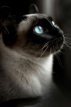 Seal Point Siamese cat with rich blue eyes and traditional thick gray and black markings - lovely portrait