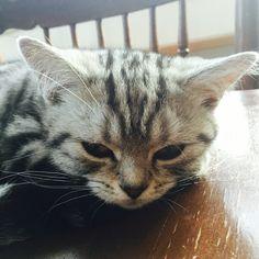 Don't wake me. British short hair silver tabby kitten king. #kitten #cats #cute