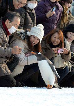 Asahikawa City, Hokkaido, Japan - Asahiyama Zoo... The march of the penguins