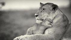 leon bebe cachorro con su mama leona cria