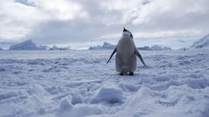 World's largest marine protected area declared in Antarctica - BBC News All Nature, Science And Nature, Penguin Day, Physical Geography, Marine Reserves, Les Continents, Emperor Penguin, Baby Penguins, Bbc News