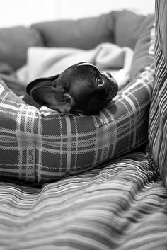 Cute French Bulldog puppy looking cosy in a tartan patterned doggie bed. #frenchbulldog #cute #dog #animals