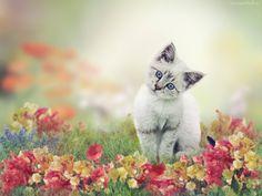 Srebrzysty, Kotek, Kwiaty, Rozmyte, Tło