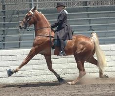 Tennesse Walking Horse demonstrating the extreme of intentional gait alteration.