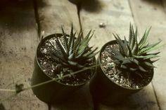 Multiplication des plantes succulentes | Espace pour la vie