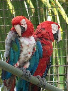 """What """"feather plucking"""" is and how it can be dangerous #parrots"""