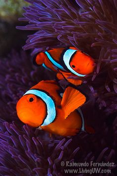 Anemonefish #seacreatures #creaturesofthesea #sealife #oceancreatures #oceanlife
