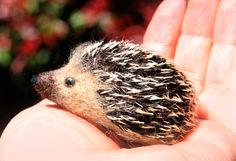 Small Needle felted Hedgehog Miniature Size by YvonnesWorkshop, $25.00