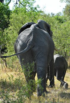 Botswana Vombura elephant exit (Wil 5202)