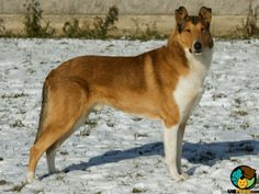 Smooth Collie Dog Breed Information | UK Pets Smooth Collie, Rough Collie, Collie Dog, Bearded Collie, Sheltie, Dog Breeds, Corgi, Animals, School
