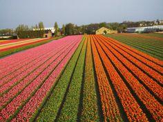 Tulip Lands, Leiden Area, Netherlands