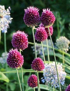 Allium sphaerocephalon also known as drumstick allium are small allium with ruby purple blooms that resemble a drumstick. Allium Flowers, Bulb Flowers, Flower Bulbs For Sale, Tulips Holland, Rose Flower Pictures, Front Garden Landscape, Best Perennials, Oriental Lily, Spring Bulbs